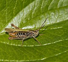 Field Grasshopper by Sue Robinson