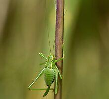 Speckled Bush Cricket by Sue Robinson