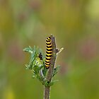 Cinnabar Moth caterpillar by Sue Robinson