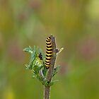Cinnabar Moth caterpillar by Sue Robinson