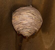 Wasp Nest by Sue Robinson