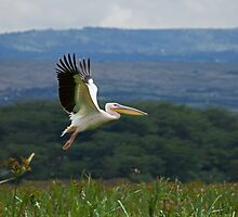 Great White Pelican Flying by Sue Robinson