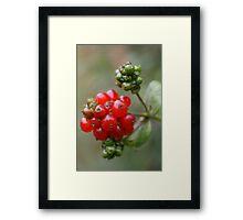 Honeysuckle Berries Framed Print