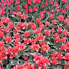 Ritzy Red Tulip Garden by Barberelli
