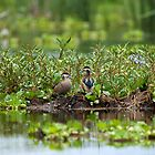 Hottentot Teal pair by Sue Robinson