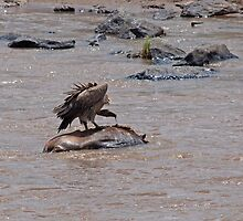 Vulture on carcase in the Mara River by Sue Robinson