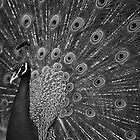 Beautiful Peacock by HPG  Images