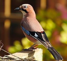Jay after the rain by Steve Shand