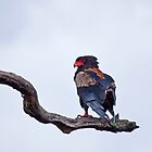 Bateleur on Tree by Sue Robinson