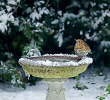Song Thrush in snow by Sue Robinson