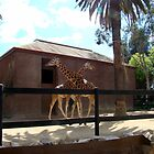 Crossing Giraffes at Adelaide Zoo, Australia by HJRobertson