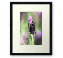 Lavender in a Dream Land  Framed Print