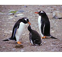 Gentoo Penguin Family Feeding Chick Photographic Print
