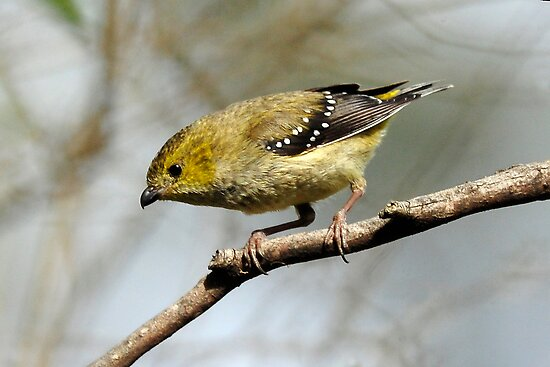 Forty Spotted Pardalote taken North Bruny Island in Tasmania. by Alwyn Simple