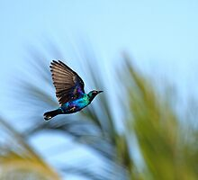Lesser Blue-eared Glossy Starling in flight by Sue Robinson
