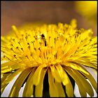 Macro of a dandelion by marina63