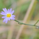Late Purple Aster by ©Dawne M. Dunton