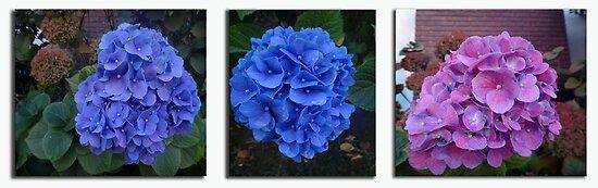 Hydrangeas by Kimberly Palmer