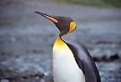 King Penguin Portrait by Carole-Anne