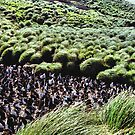 Royal Penguin Colony on Macquarie Island by Carole-Anne