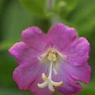 Great Willowherb by marens