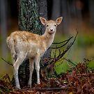Fallow Deer by Daniel  Parent