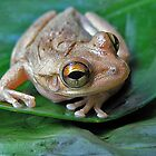 Treefrog by Joe Saladino