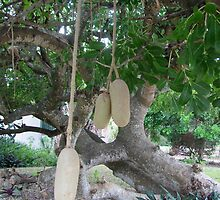 Kigelia africana fruit by Mike Shell