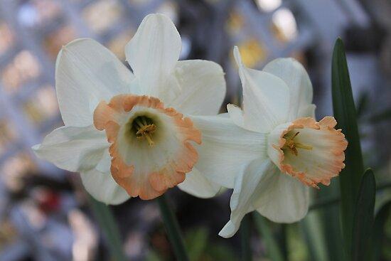 Daffodils by sarataylor