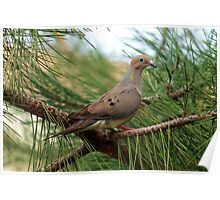 Mourning Dove in the Pine Poster