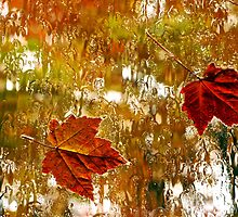 Autumn Maple Leaves by Rae Tucker