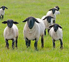 Suffolk Sheep by M.S. Photography/Art