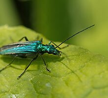 Oedemera nobilis female by Sue Robinson