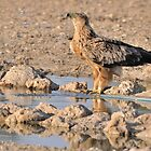 Tawny Eagle by jeff97