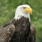 Bald Eagle by Heather Crough