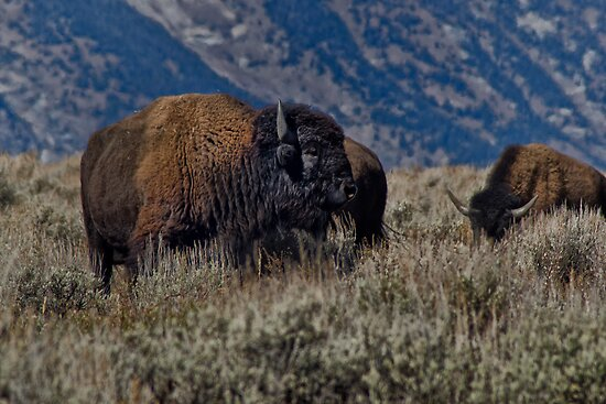 Bison Bull in the Sagebrush by Robert H Carney