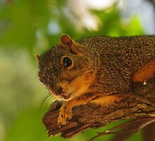 Curious Squirrel by Billy Griffis