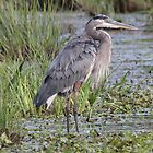 Great Blue Heron in Breeding Plumage by hummingbirds