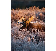 Moose Glow Photographic Print