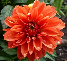 Orange Dahlia by Jess Meacham