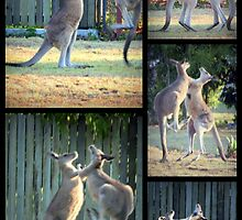 Boxing Kangaroos at Woodgate Beach by myraj