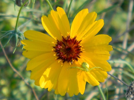 Coreopsis With Predator Drone by Navigator