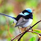 Superb Fairy Wren taken at Strahan in Tasmania by Alwyn Simple