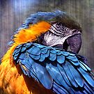Macaw by Margi