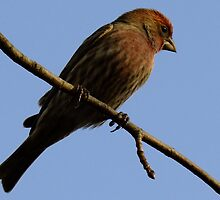Purple Finch-  Male by Tracy Faught