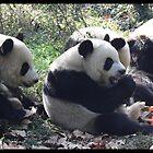 Panda feeding time by jonshock