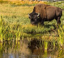 BULL BISON IN AUTUMN by Sandy Stewart