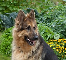 German Shepherd by Sue Robinson