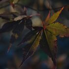 Japanese Maple Leaves by PhosGraphe