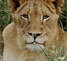 IF LOOKS COULD KILL - THE LION – Panthera leo by Magaret Meintjes